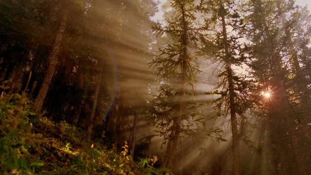 low angle god rays shining through misty pine tree forest / aspen, colorado - pine tree stock videos & royalty-free footage
