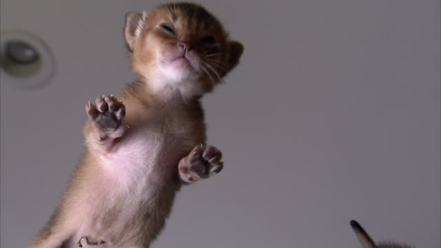 low angle hand-held - abyssinian kittens mew as they crawl on a glass surface. - cute stock videos & royalty-free footage