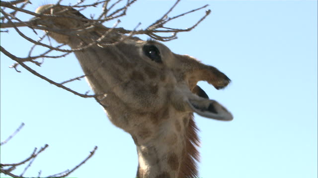 vidéos et rushes de low angle hand-held zoom-in - a giraffe uses its long dark tongue to pull down twigs / south africa - tongue