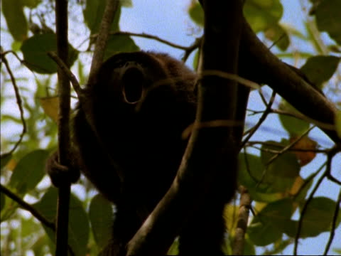 MS Low angle, Howler Monkey calling in tree, Panama