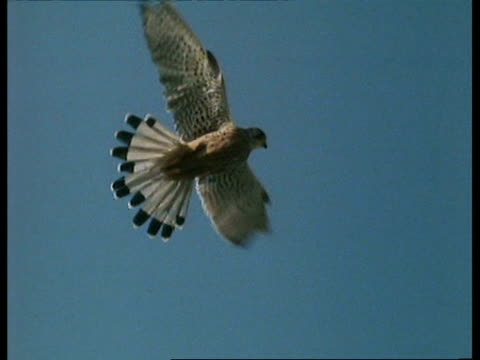 MCU Low angle, Kestrel (Falco tinnunculus) hovering in blue sky, UK