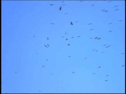 vidéos et rushes de low angle long shot colony of vultures circling in sky - colony