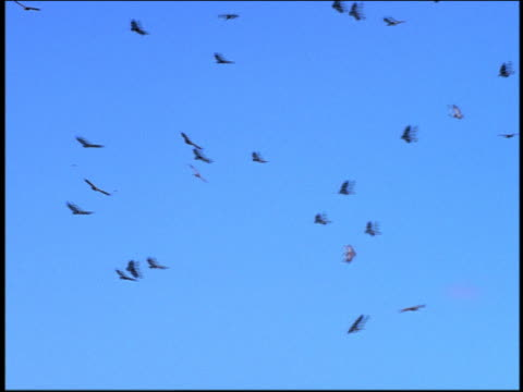 low angle long shot colony of vultures circling in sky - vulture stock videos & royalty-free footage