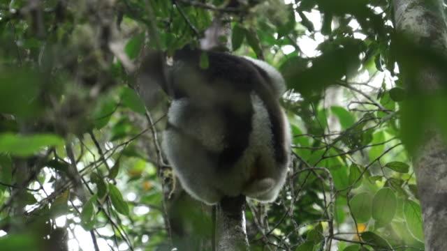 low angle long shot of a critically endangered indri sitting in a tree. - インドリ点の映像素材/bロール