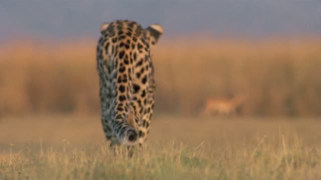 stockvideo's en b-roll-footage met low angle long shot rack focus rear view of leopard stalking prey / africa - staartjes