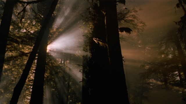 low angle long shot tilt down god rays shining through trees in the forest / british columbia - god stock videos and b-roll footage