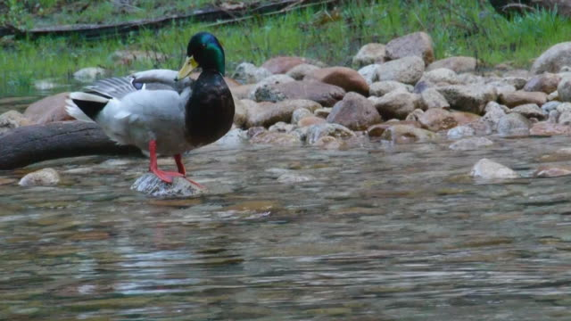 low angle pov, male mallard duck standing on granite rock in merced river in yosemite national park, california - merced river stock videos & royalty-free footage