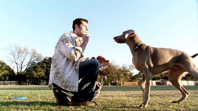 low angle medium shot man teasing weimaraner with treat - pet owner stock videos & royalty-free footage
