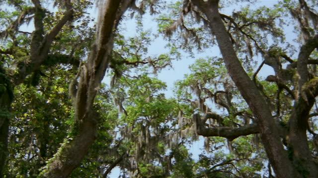 Low angle medium shot pan Spanish moss hanging from trees / Savannah, Georgia