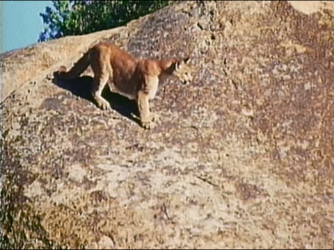 1983 low angle medium shot slow motion cougar running and jumping across large rock formations - mountain lion stock videos & royalty-free footage