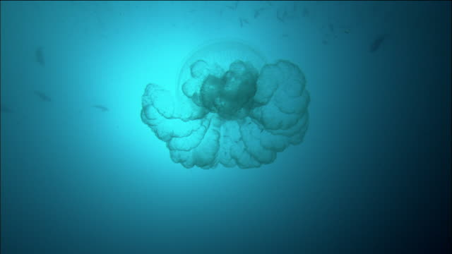 low angle medium shot transparent jellyfish swimming / fish swimming in background / great barrier reef / australia - qualle stock-videos und b-roll-filmmaterial