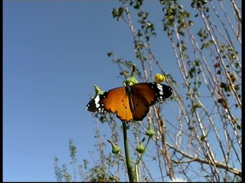 vídeos y material grabado en eventos de stock de mcu low angle, monarch butterfly (danaidae) on flower, israel - patrones de colores
