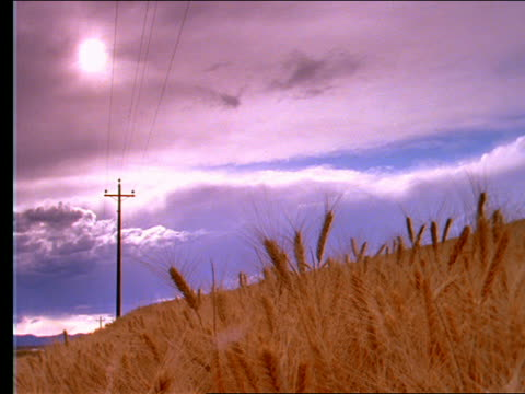 low angle of field of golden wheat, telephone pole + blue sky - telephone pole stock videos & royalty-free footage