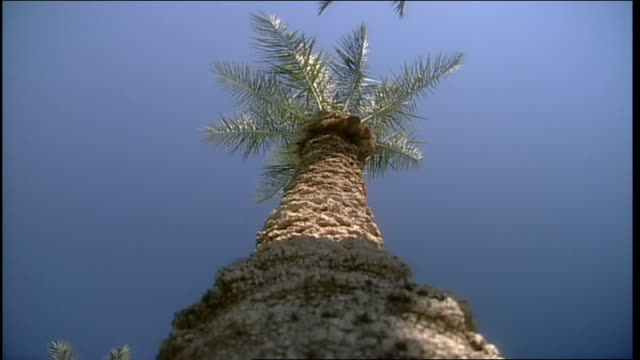 low angle of looking up at palm tree in phoenix arizona - natural land state stock videos & royalty-free footage