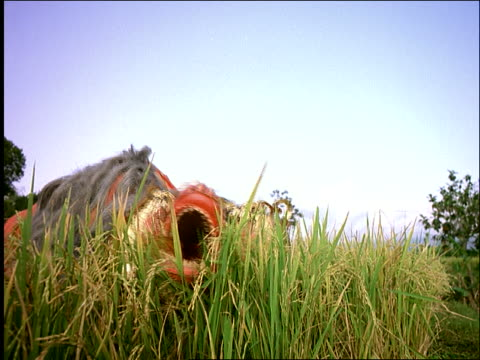 vídeos y material grabado en eventos de stock de low angle of man with balinese paper dragon moving thru rice paddy / central java / indonesia - dragon chino