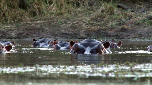 low angle of raft of hippos blowing air and observing the environment/ kruger national park/ south africa - hippopotamus stock videos & royalty-free footage