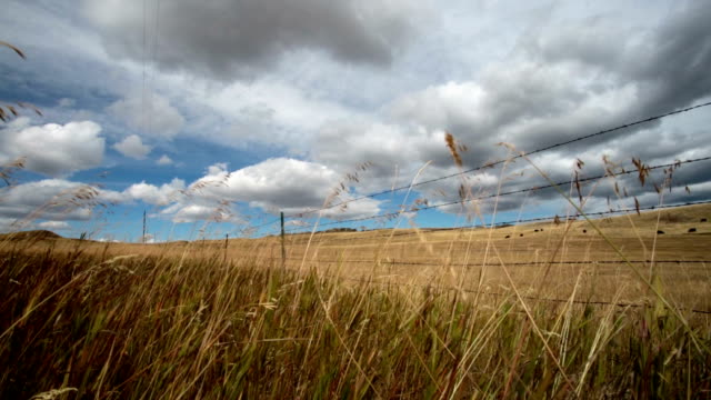 Low angle of tall prairie grass blowing in wind with barbed wire fence and puffy clouded blue sky.