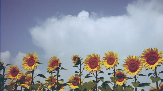 low angle of time lapse clouds over field of sunflowers / italy - open field stock videos & royalty-free footage