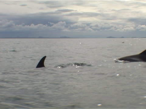 stockvideo's en b-roll-footage met low angle of white-beaked dolphins surfacing - spuitgat