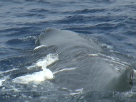 low angle on sperm whale at surface - aquatic organism stock videos & royalty-free footage