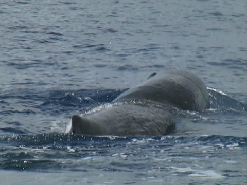 stockvideo's en b-roll-footage met low angle on sperm whale fluking up to dive - rugvin