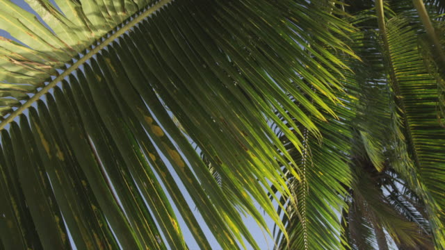 low angle, pan over palm tree leaves - palmenblätter stock-videos und b-roll-filmmaterial