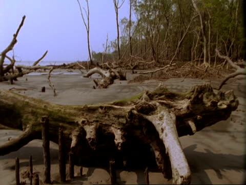 MS Low angle Pan right, decaying and fallen trees on mud flats of Mangrove swamp, Sunderbans, India