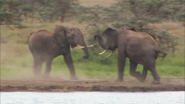 Low Angle pan-left pan-right - Two elephants fight for dominance / Kenya