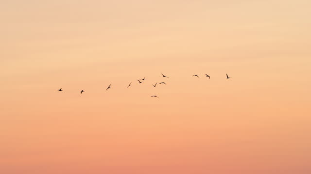 low angle panning shot of silhouette birds flying against orange sky during sunset - camargue, france - bird stock videos & royalty-free footage