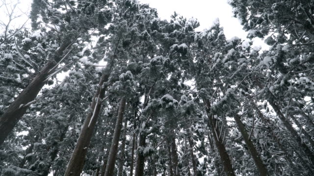 low angle panning: snow is falling among densed pine forest at shirakawago village - coniferous stock videos & royalty-free footage