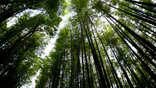 low angle panning view of a bamboo forest - bamboo plant stock videos and b-roll footage