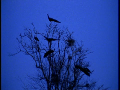 mwa low angle, peacocks silhouetted roosting in tree, twilight, gujarat, india - group of animals stock videos & royalty-free footage