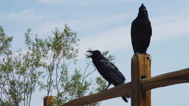Low angle, ravens on fence