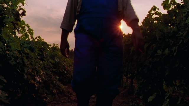 vídeos de stock, filmes e b-roll de low angle pan rear view farmer walking through vineyard examining vines / st. emilion, france - agricultora