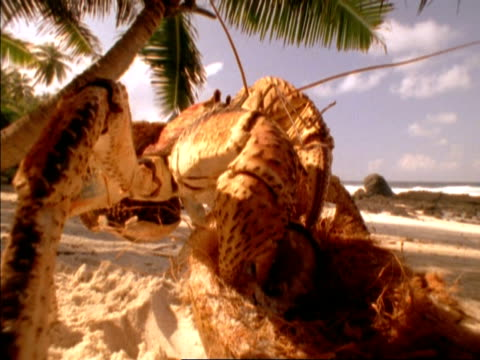 BCU Low angle, Robber Crab opening coconut on beach, Seychelles