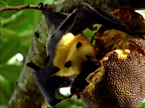 cu low angle, seychelles fruit bat (pteropus seychellensis) feeding on fruit, seychelles - feeding stock videos & royalty-free footage