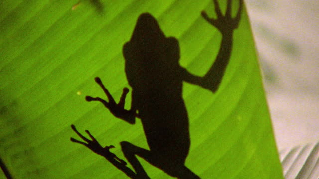 backlit low angle pan shadow from underneath large leaf of brown frog walking / tambopata, peru - tambopata stock videos and b-roll footage