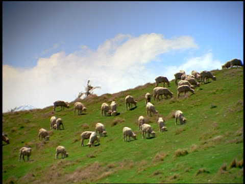 low angle sheep grazing on steep hill / Southern Alps, South Island / New Zealand