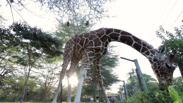 Low angle shot of a giraffe grazing on a hedgerow at the Lewa Wildlife Conservancy, Kenya.