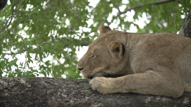 a low angle shot of a lioness resting in the boughs of a tree, kruger national park, south africa - mpumalanga province stock videos and b-roll footage