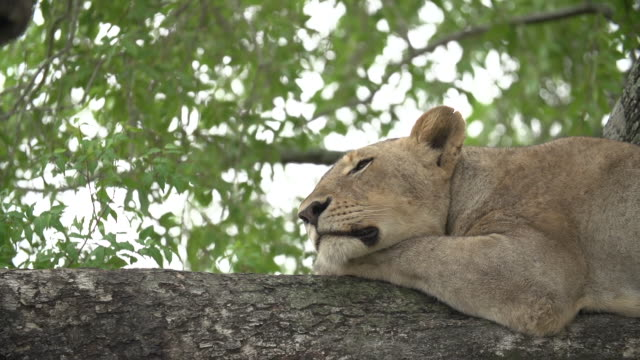 A low angle shot of a lioness resting in the boughs of a tree, Kruger National Park, South Africa