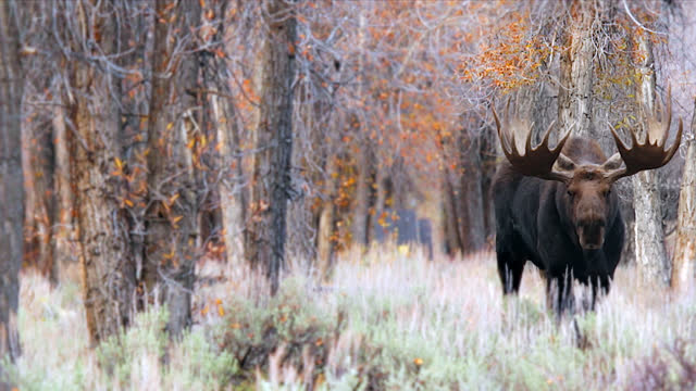 ms 4k low angle shot of a massive bull moose  (alces alces) in a colorful fall forest - wyoming stock videos & royalty-free footage