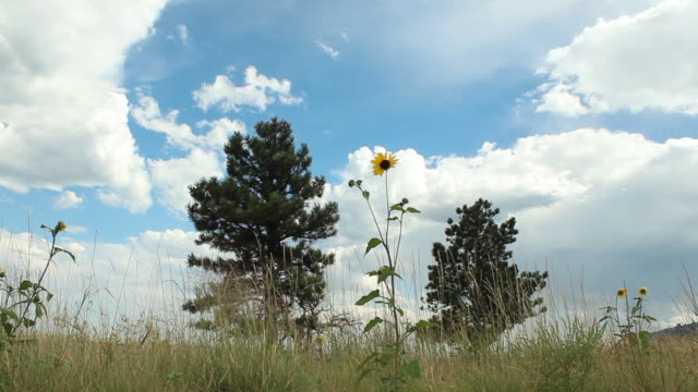 low angle shot of a yellow coneflower - grodperspektiv bildbanksvideor och videomaterial från bakom kulisserna