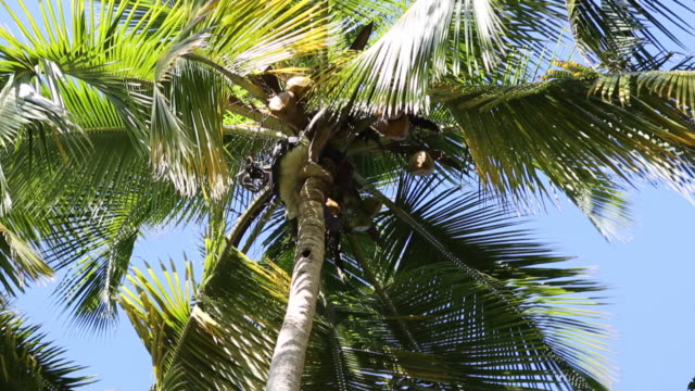 A low angle shot of a young farmer who climbed up a huge coconut tree and is cutting off the coconuts with a knife before he is throwing them down on...