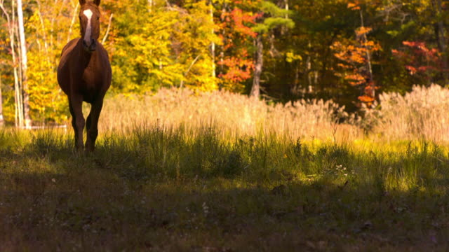 ms ts slo mo low angle shot of brown horse galloping through bright field diagonally / shady, new york, united states - animale da lavoro video stock e b–roll