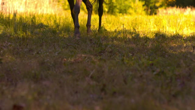 MS PAN ZI SLO MO Low angle Shot of brown horses feet galloping through bright field / shady, New York, United States