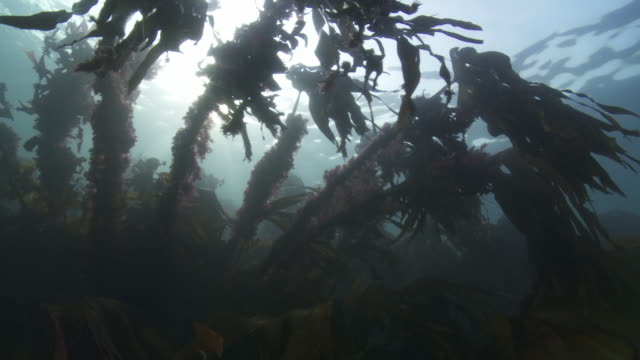 Low angle shot of kelp moving in the current