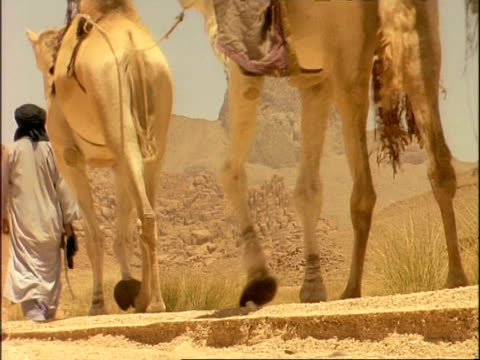 vidéos et rushes de ms low angle shot of legs of arab man guiding camels along desert track, algeria, africa - dry clothes