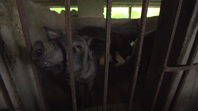 low angle shot of pigs in pens at a piggery farm in longtan town, bobai county, guangxi province, china. - healthcare and medicine or illness or food and drink or fitness or exercise or wellbeing stock videos & royalty-free footage