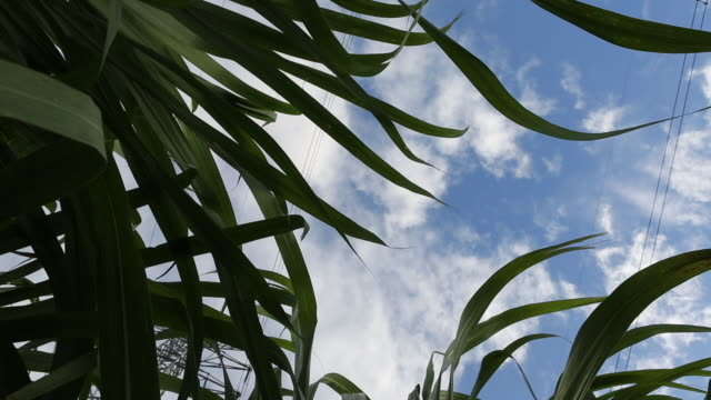 santo domingo dominican republic november 30 2012 a low angle shot of sugar cane leaves as they are blowing in the wind on a sugar cane plantation... - santo domingo dominican republic stock videos & royalty-free footage